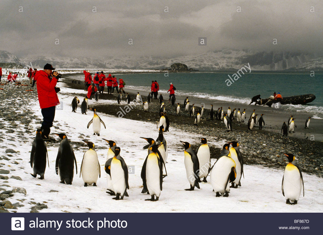Tourists with king penguins, Aptenodytes patagonicus, South Georgia Island - Stock Image