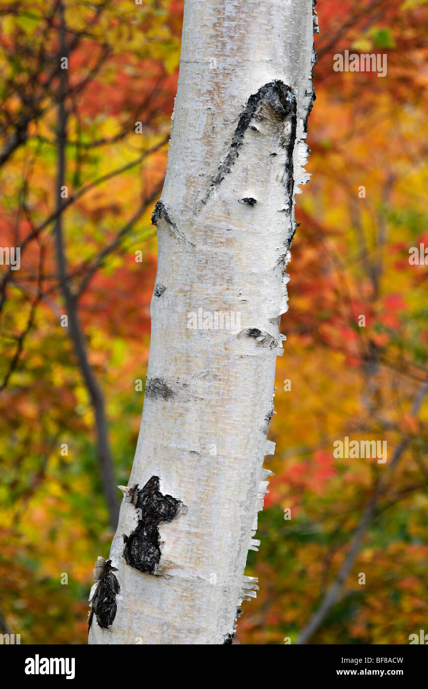 Birch Tree Trunk with Autumn Color Behind in the White Mountains National Forest in New Hampshire - Stock Image