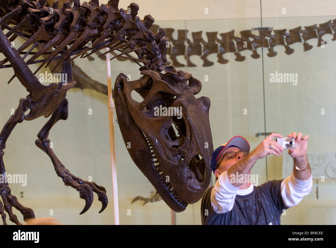 Skeleton of an Allosaurus, Museum of Natural History, New York City - Stock Image