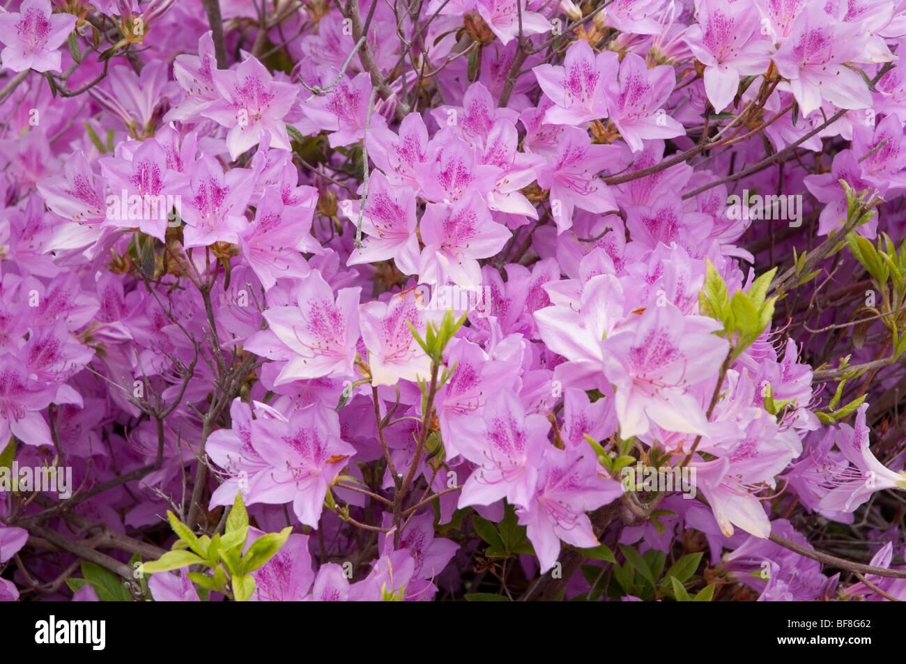 Azaleas at the Crane Estate - Stock Image