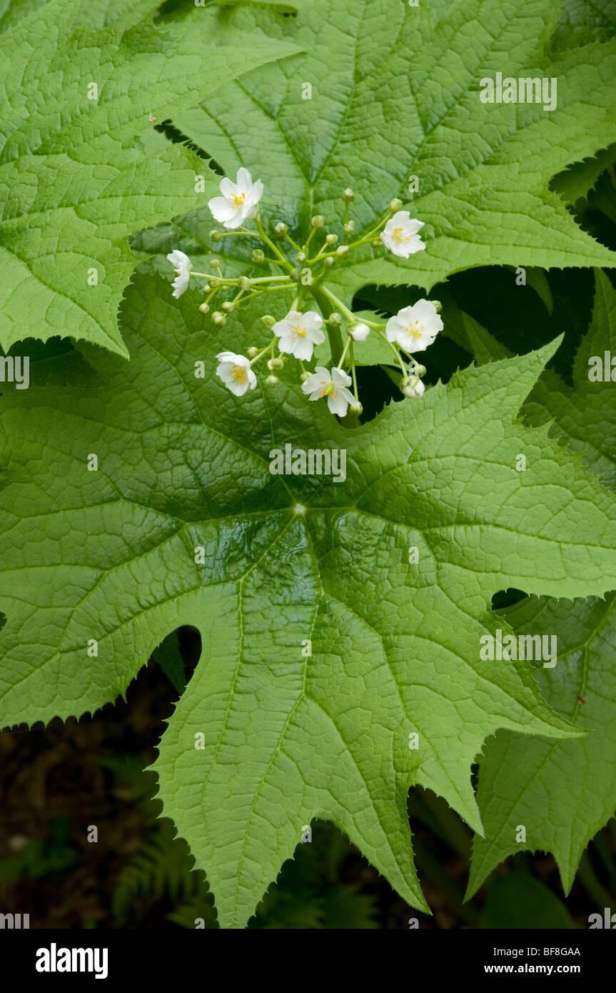 Showy Aster, Eurybia spectablilis - Stock Image