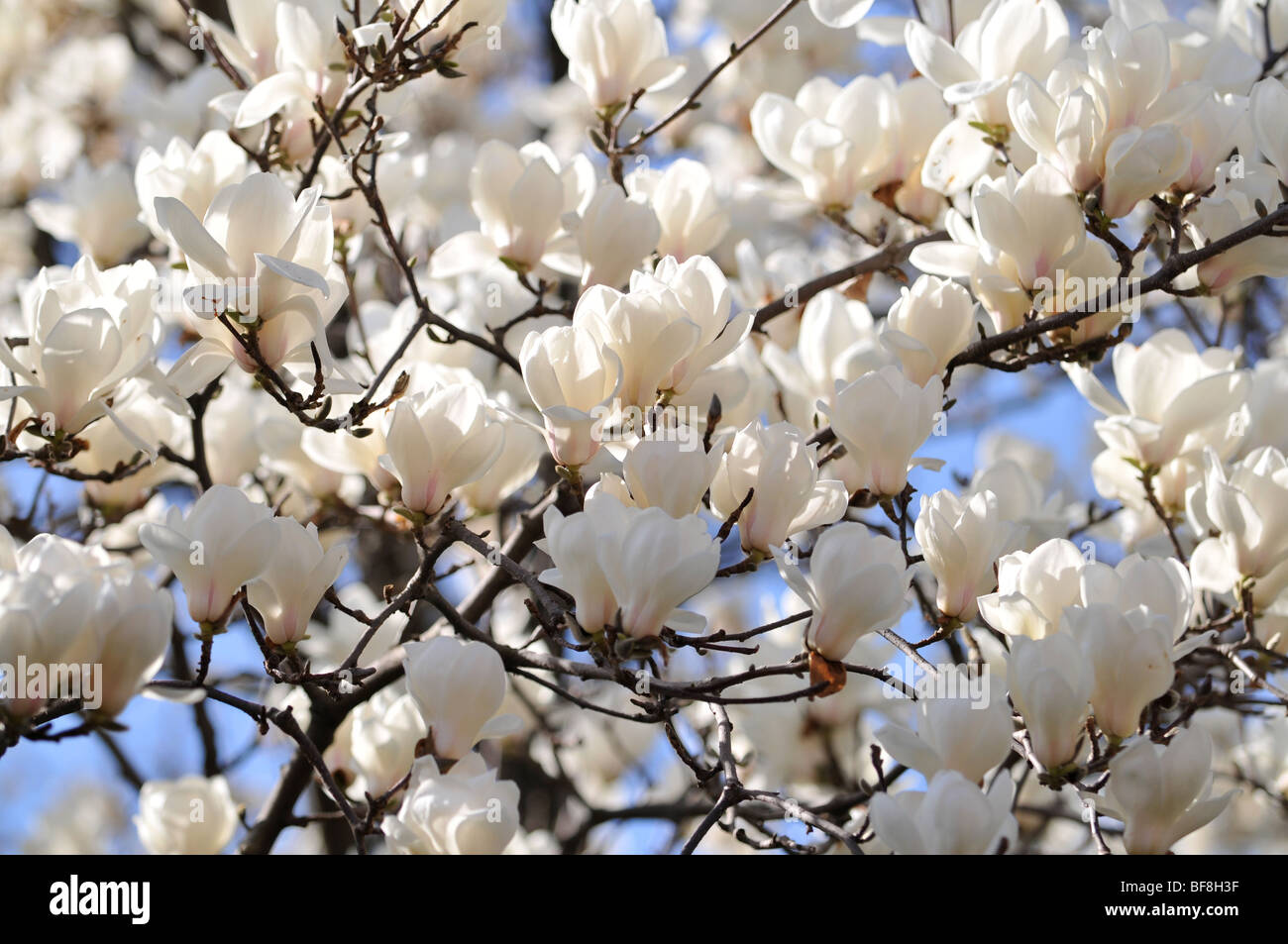 White Magnolia Flowers In Full Bloom Stock Photo 26619251 Alamy