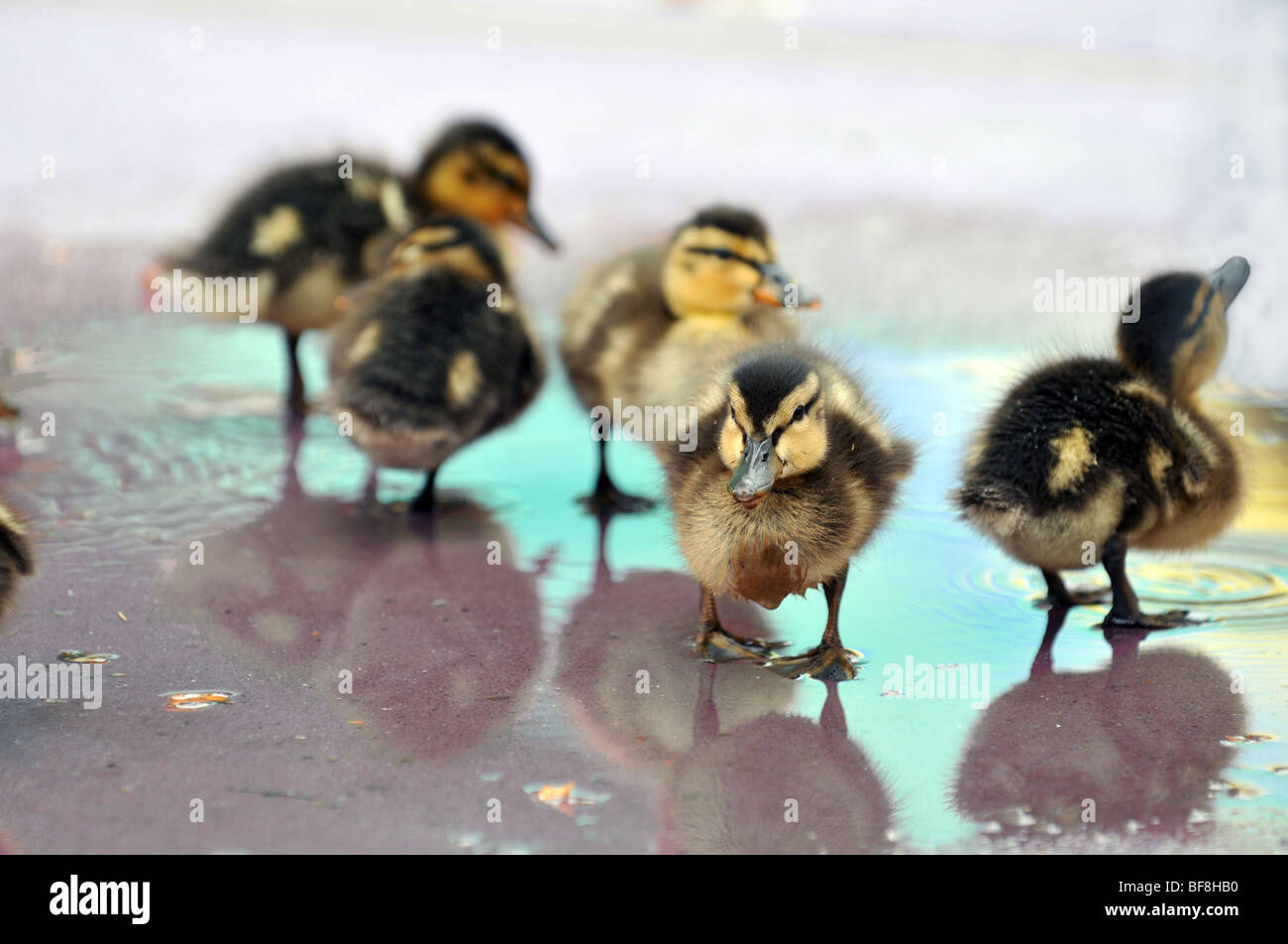 Mallard Ducklings playing in shallow water - Stock Image