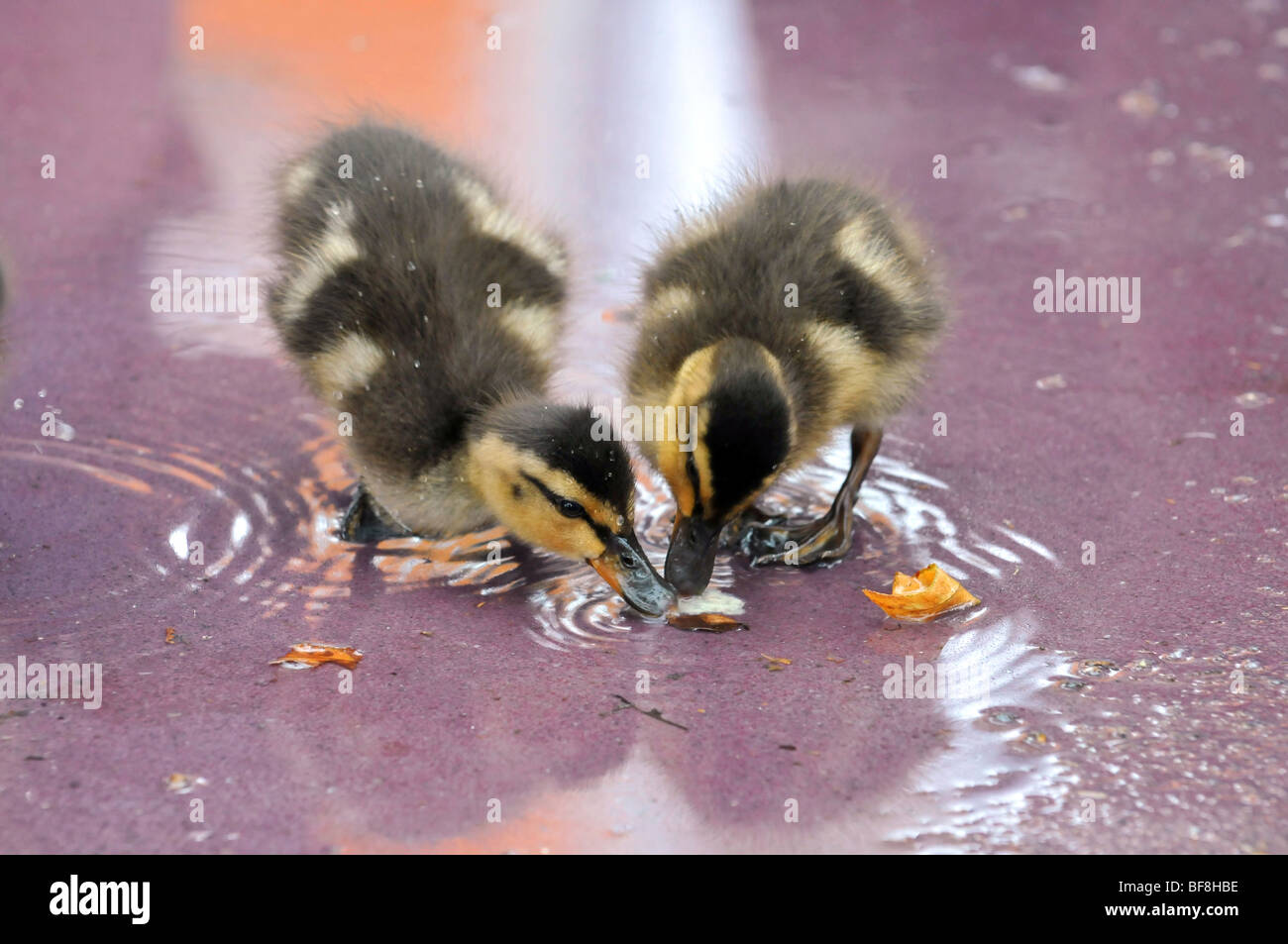 Two Mallard ducklings eating from shallow water Stock Photo