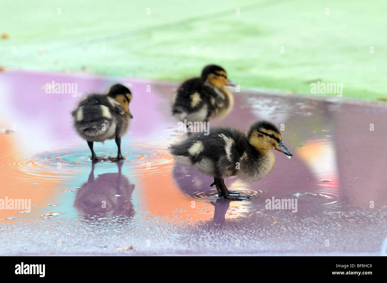Young Mallard ducklings playing in shallow water - Stock Image