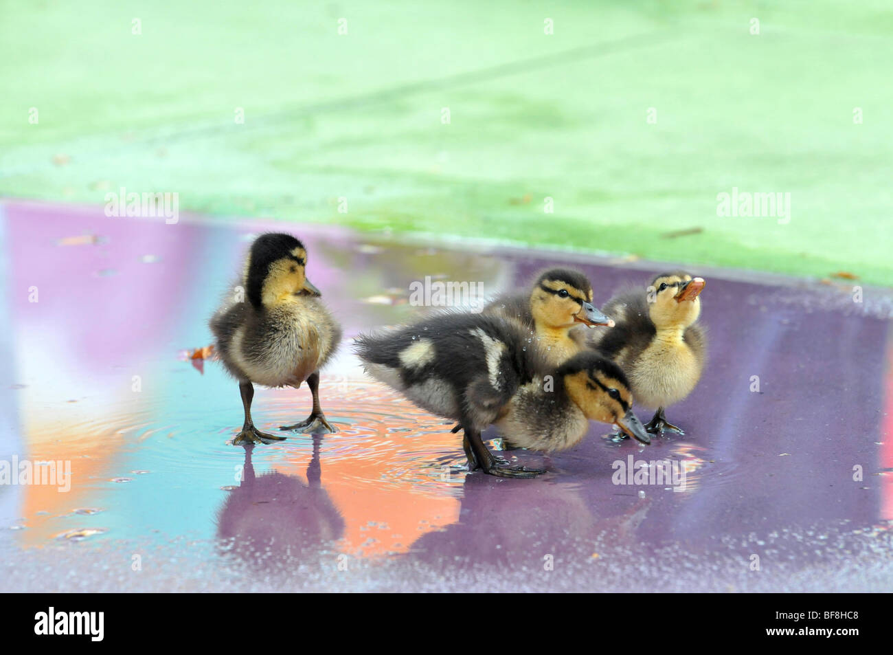 Group of Mallard ducklings with colorful water reflections - Stock Image