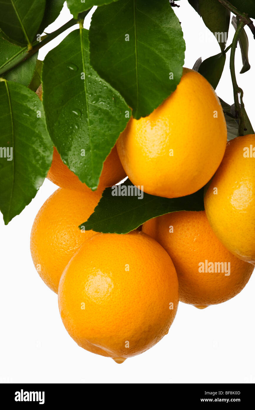 Bunch of fresh oranges hanging against white background. - Stock Image
