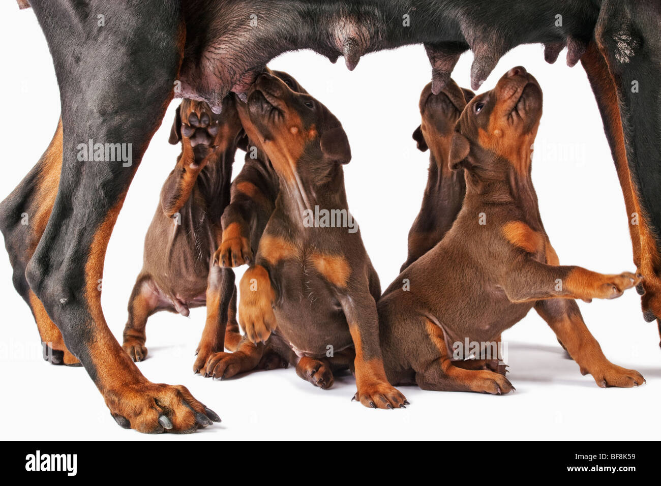 Doberman Pincher. Medium-sized domestic dog with a litter of puppies - Stock Image