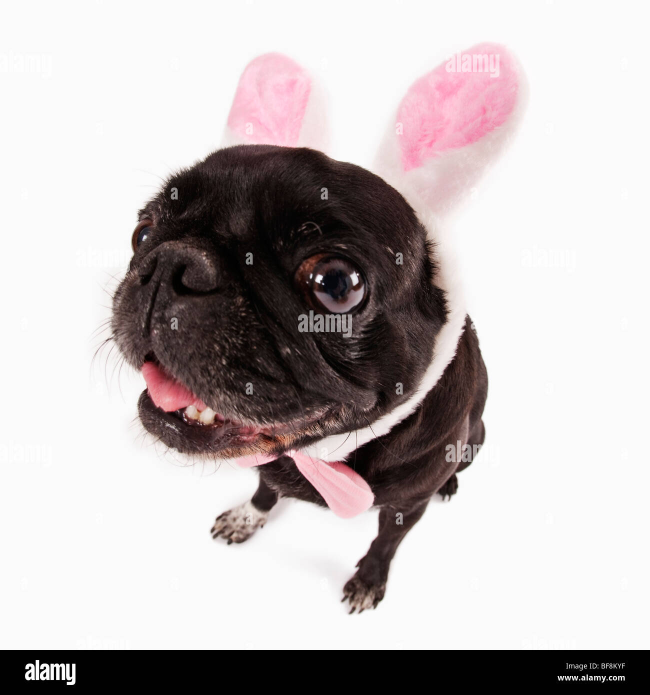 wide angle pug Easter theme. Studio shot against white background. - Stock Image