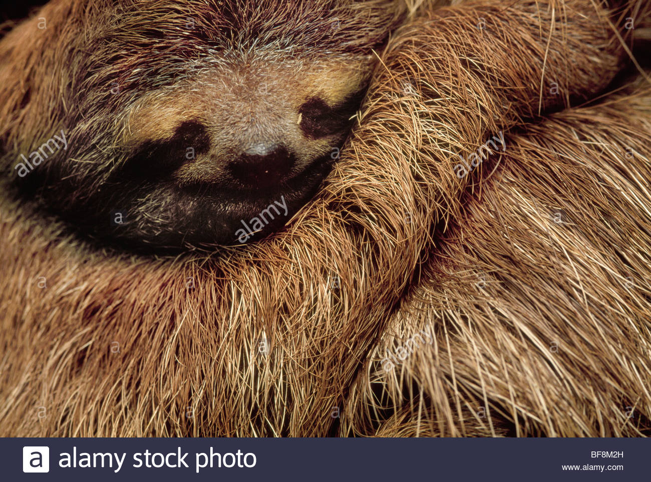 Brown-throat three-toed sloth sleeping, Bradypus variegatus, Barro Colorado Island, Panama - Stock Image
