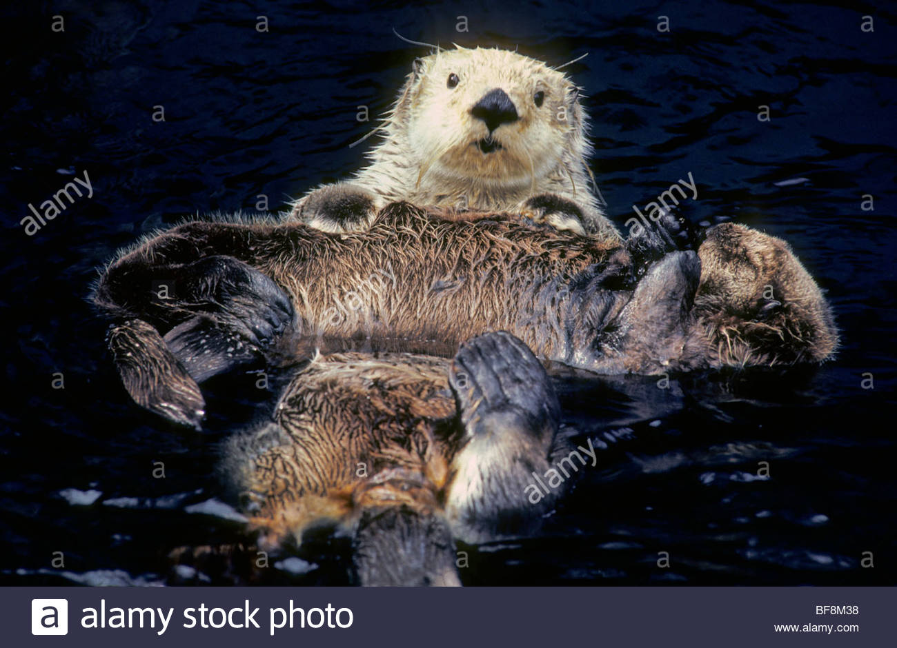 Sea otter and pup, Enhydra lutris, British Columbia, Canada - Stock Image