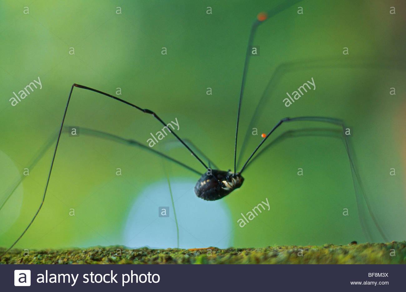 Mite larva glued to daddy longlegs, order Opiliones, Borneo - Stock Image