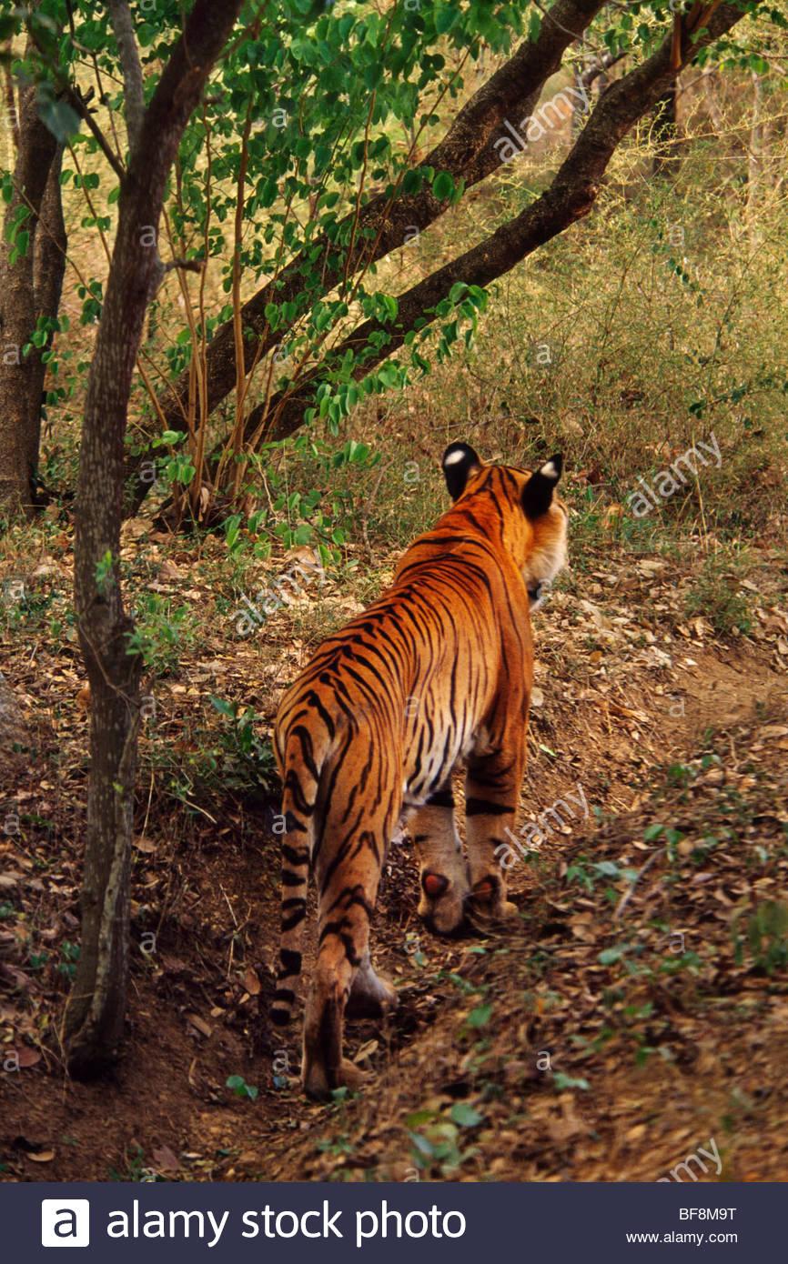 Bengal tiger stalking, Panthera tigris tigris, Western Ghats, India - Stock Image