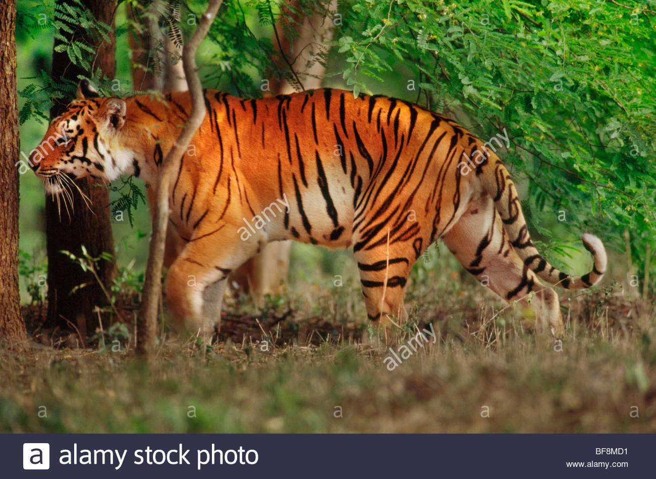 Bengal tiger prowling, Panthera tigris tigris, Western Ghats, India - Stock Image
