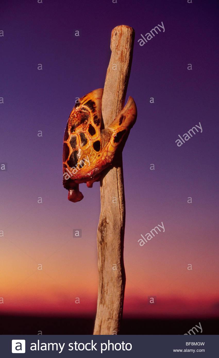 Hawksbill turtle head staked as part of Vezo ritual, Eretmochelys imibricata, Madagascar - Stock Image