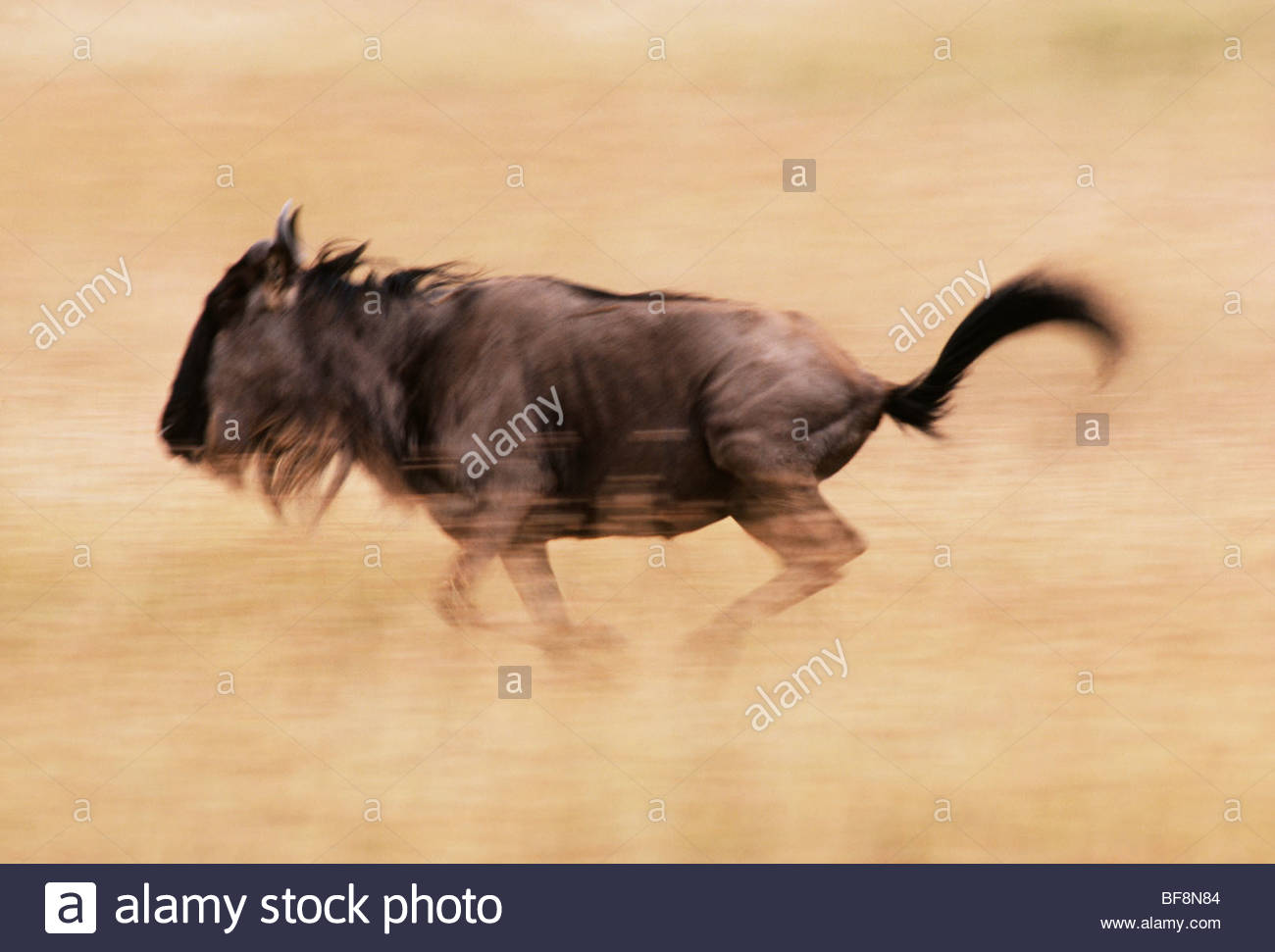 Blue wildebeest running, Connochaetes taurinus, Masai Mara Reserve, Kenya - Stock Image