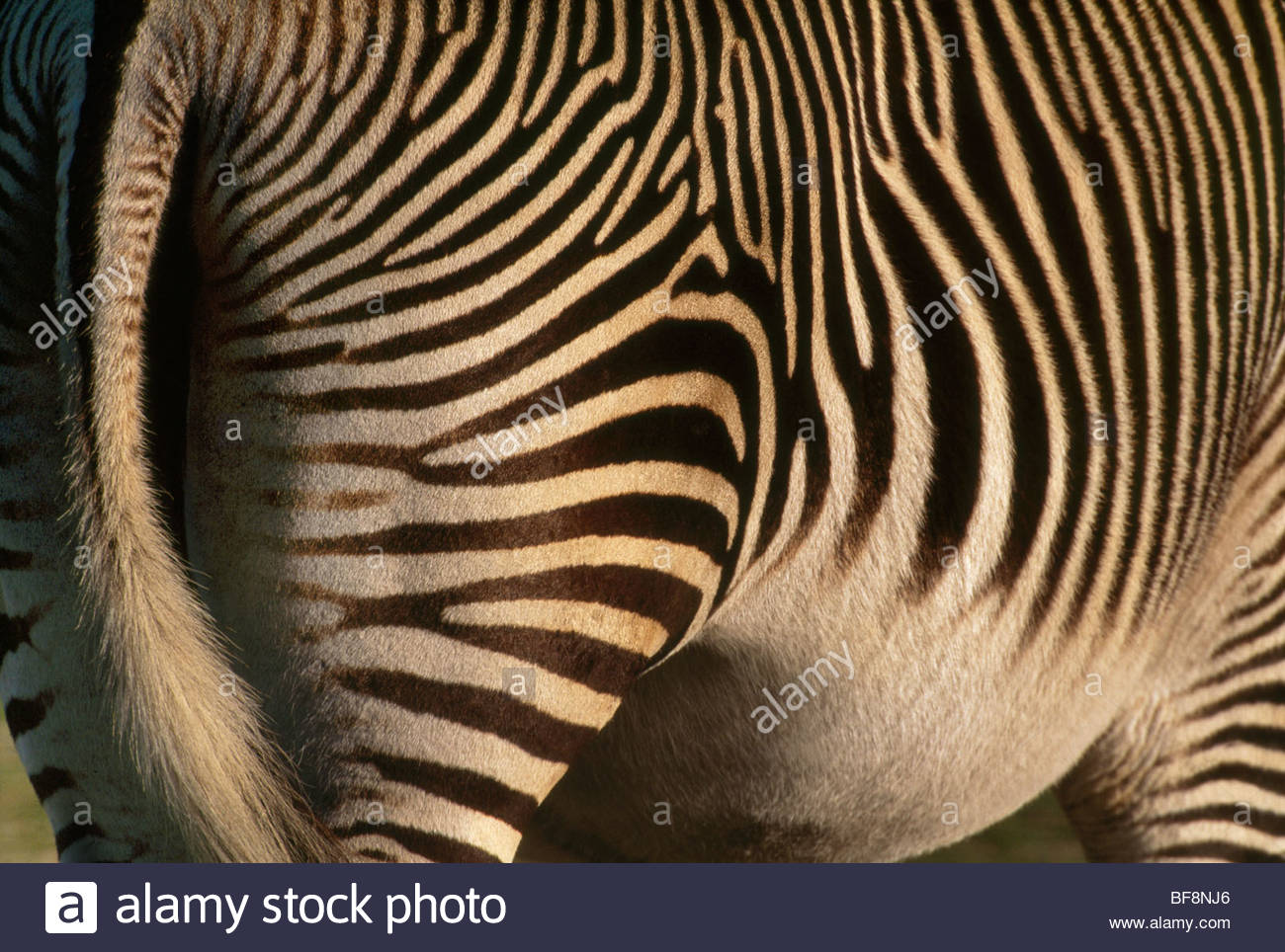 Grevy's zebra, Equus grevyi, Samburu National Park, Kenya Stock Photo