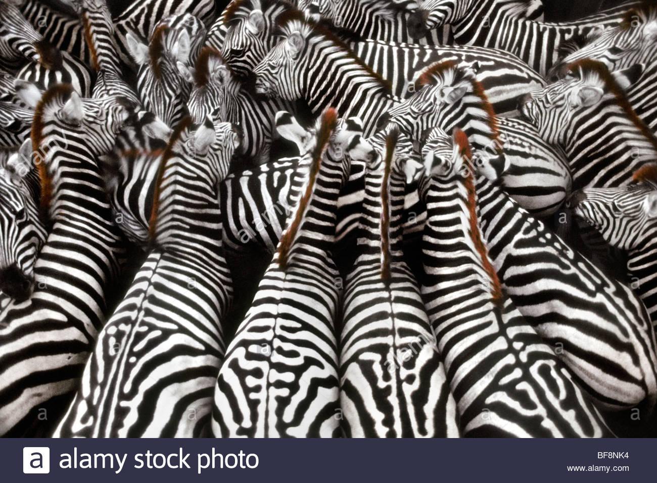 Zebras rounded up for transport, Equus quagga, Okavango Delta, Botswana - Stock Image