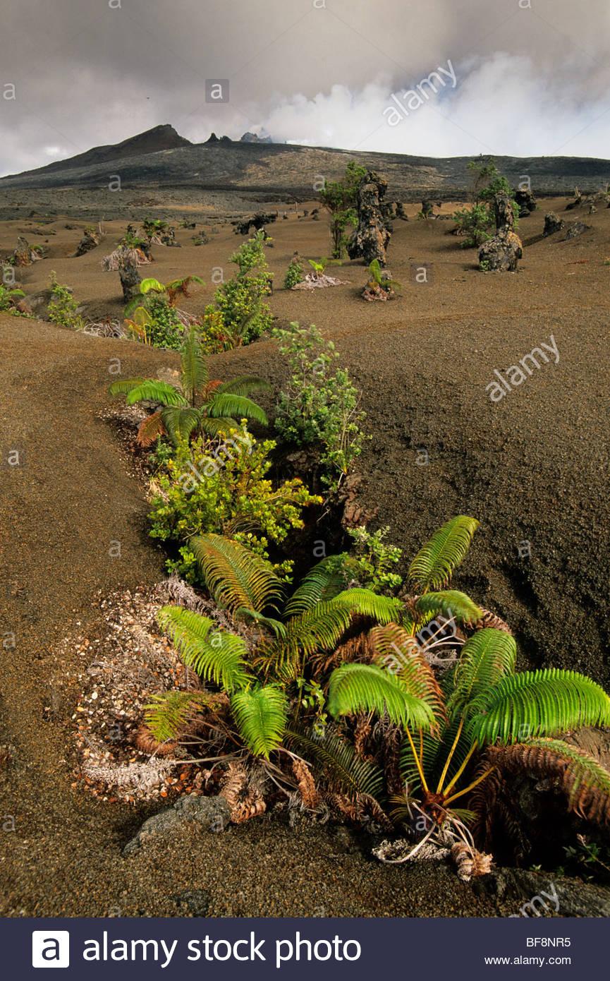 'Ama'u ferns growing in fissure crack, Hawaii Volcanoes National Park, Hawaii Stock Photo