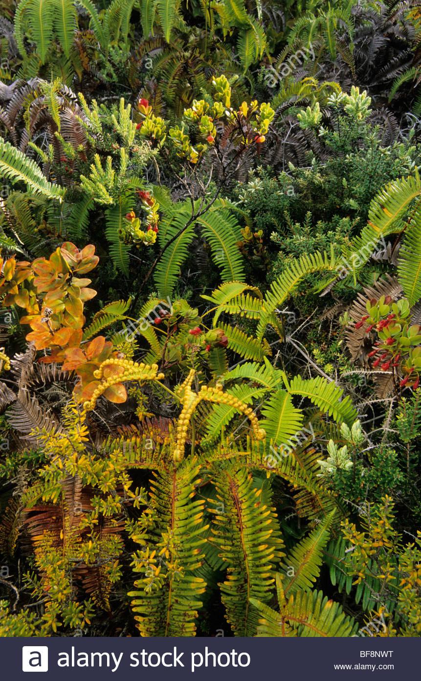 Rainforest vegetation, Hawaii Volcanoes National Park, Hawaii Stock Photo
