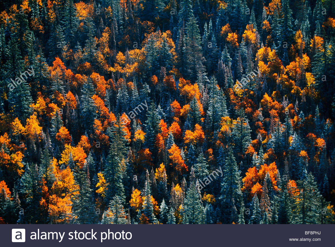 Aspens and conifers (aerial), Dixie National Forest, Utah - Stock Image