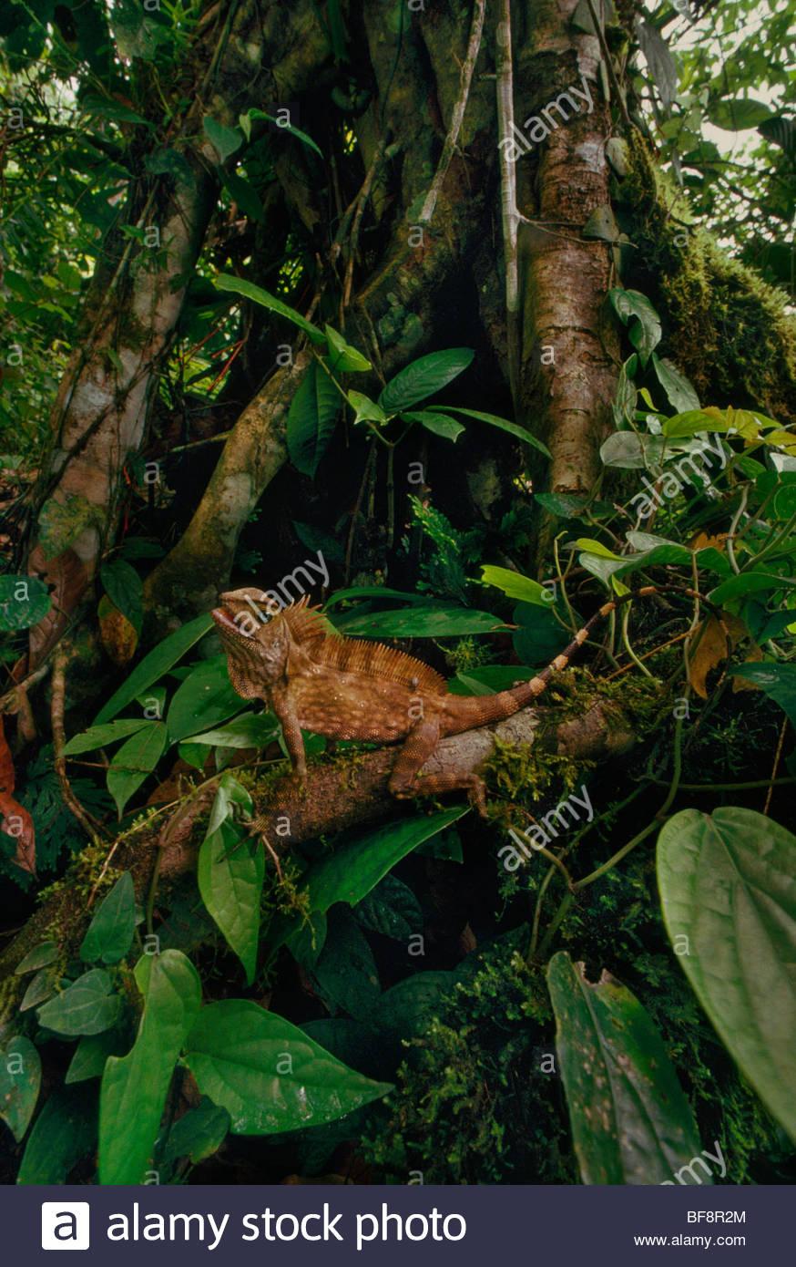 Bornean crested lizard, Gonocephalus grandis, Sabah, Borneo - Stock Image