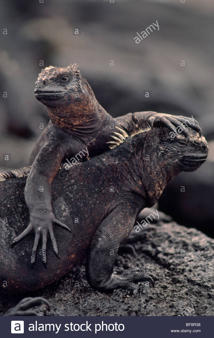 Marine iguana pair, Amblyrhynchus cristatus, Galapagos Islands - Stock Image