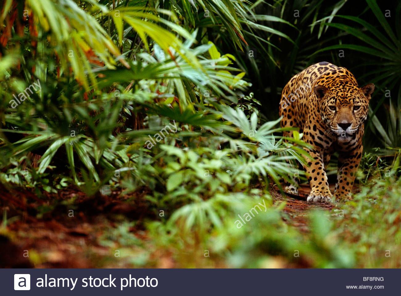 Jaguar, Panthera onca, Belize - Stock Image