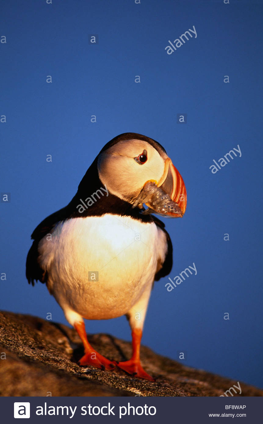 Atlantic puffin, Fratercula arctica, with small herring fry, Norway - Stock Image