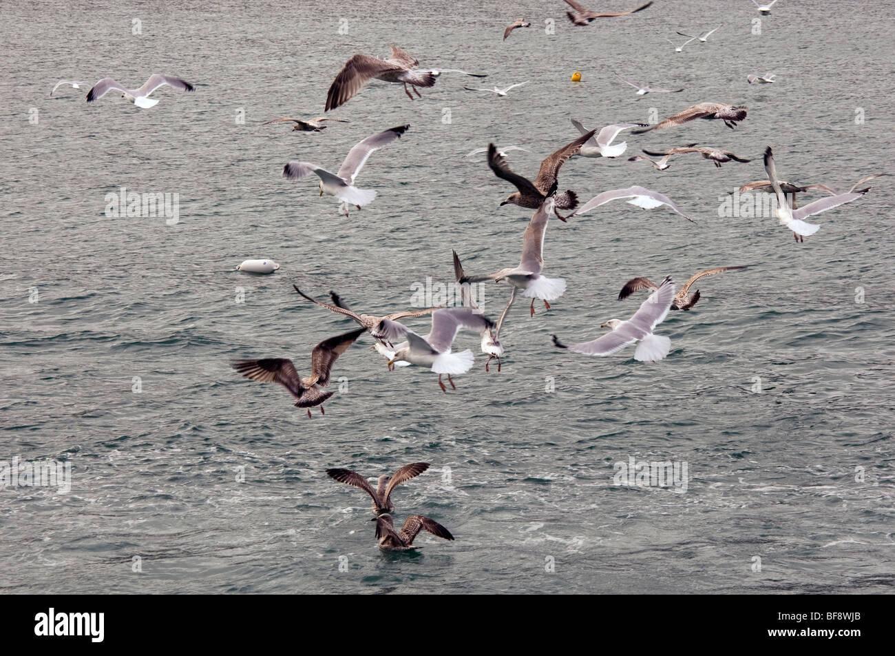 Herring Gulls - Stock Image