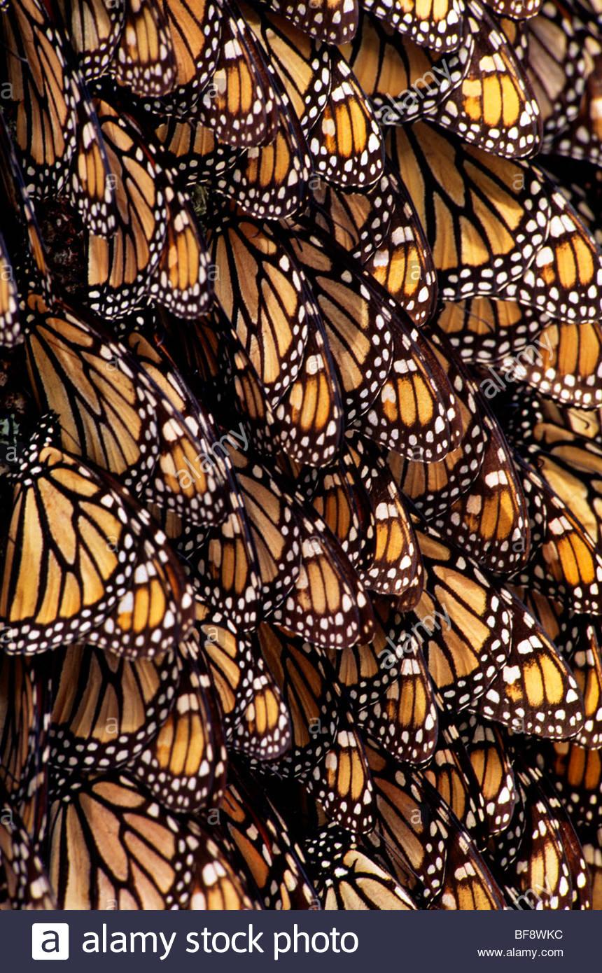 Monarch butterflies, Danaus plexippus, Michoacan, Mexico - Stock Image