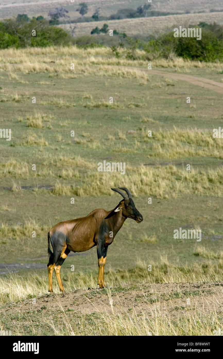 Topi - Masai Mara National Reserve, Kenya Stock Photo