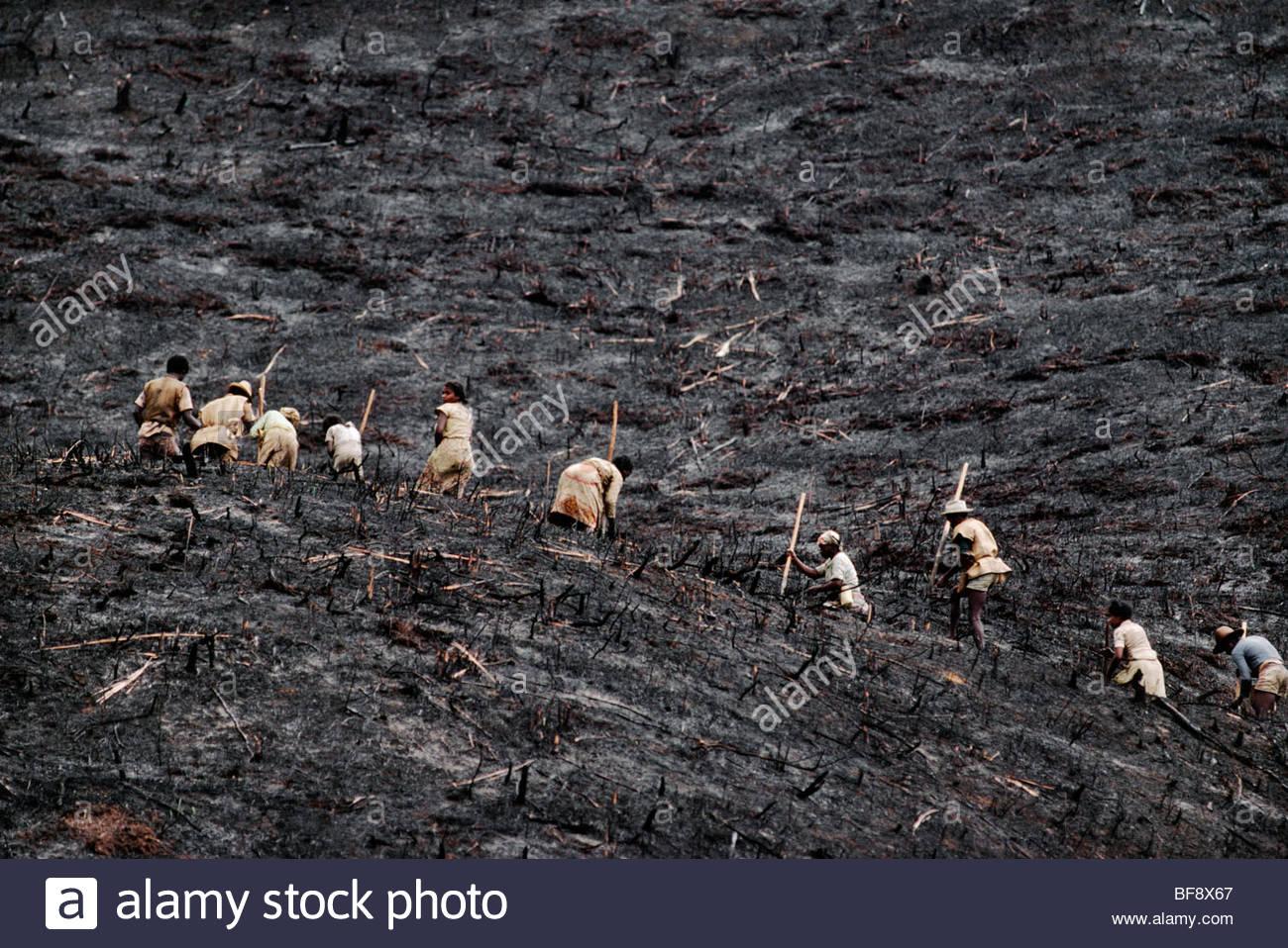 Subsistence farmers planting rice on freshly burned hillside, Eastern rainforest, Madagascar - Stock Image