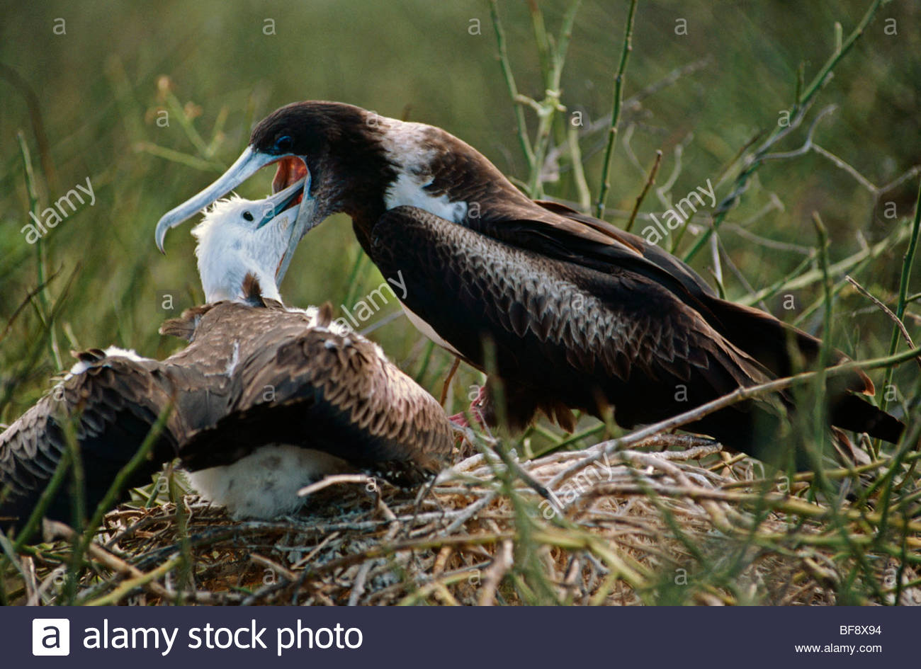 Great frigatebird feeding chick, Fregata minor, Galapagos Islands - Stock Image