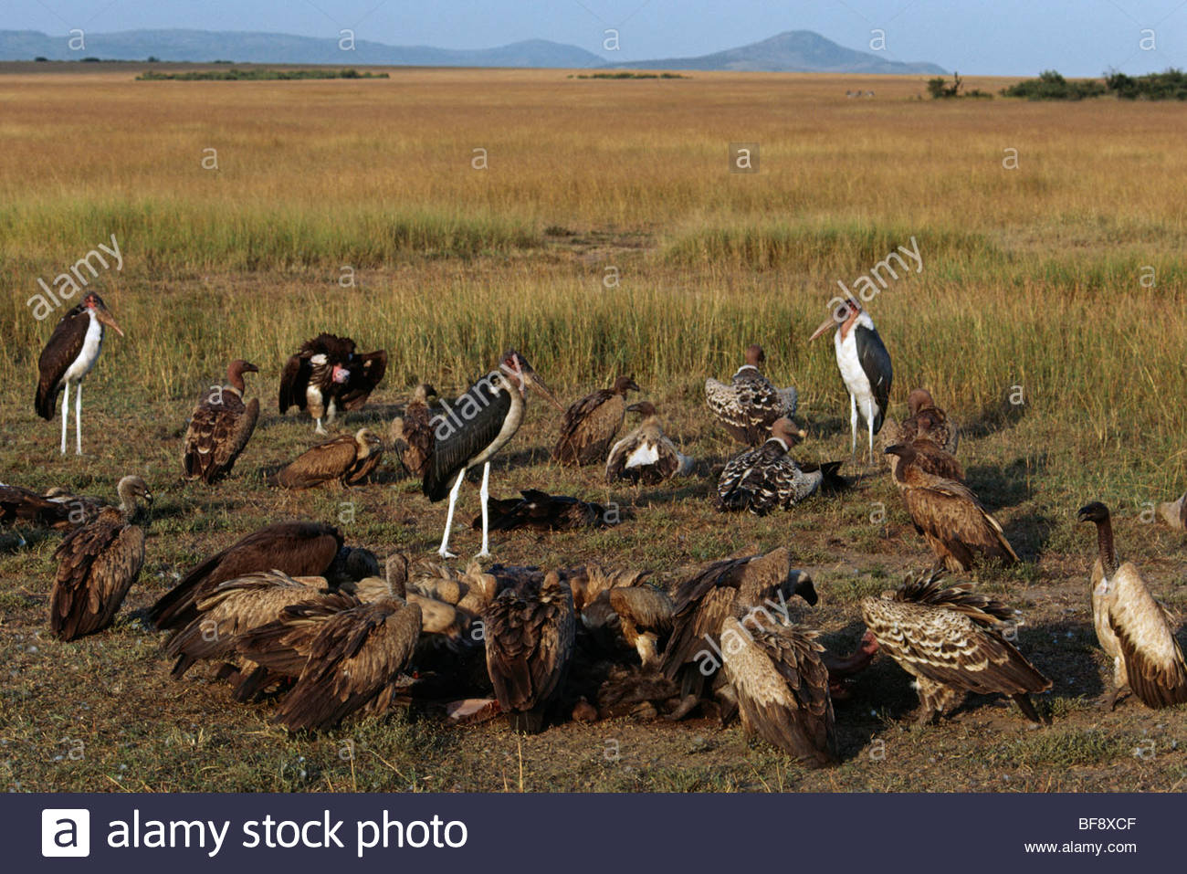 Vultures and marabou storks scavenging on kill, Masai Mara Reserve, East Africa - Stock Image