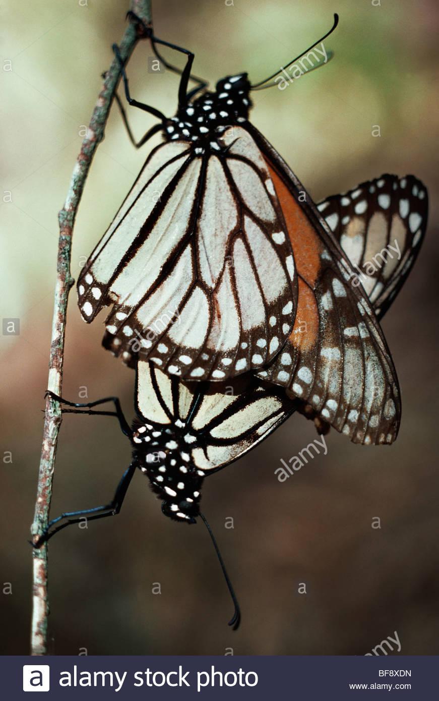 Monarch butterflies mating, Danaus plexippus, California - Stock Image