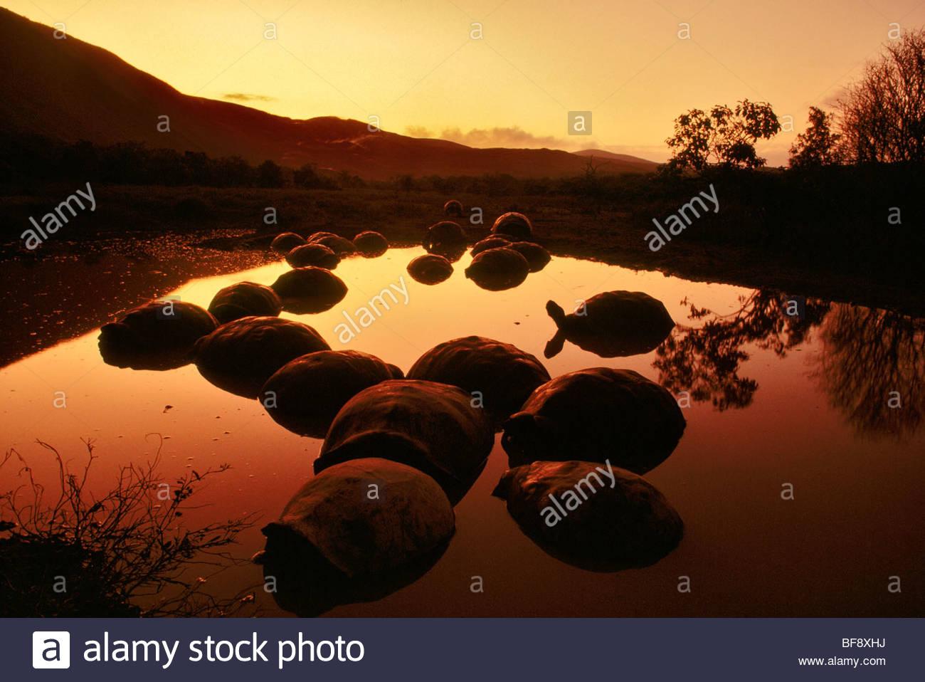 Giant tortoises in pond, Geochelone nigra, Alcedo Volcano, Galapagos Islands - Stock Image