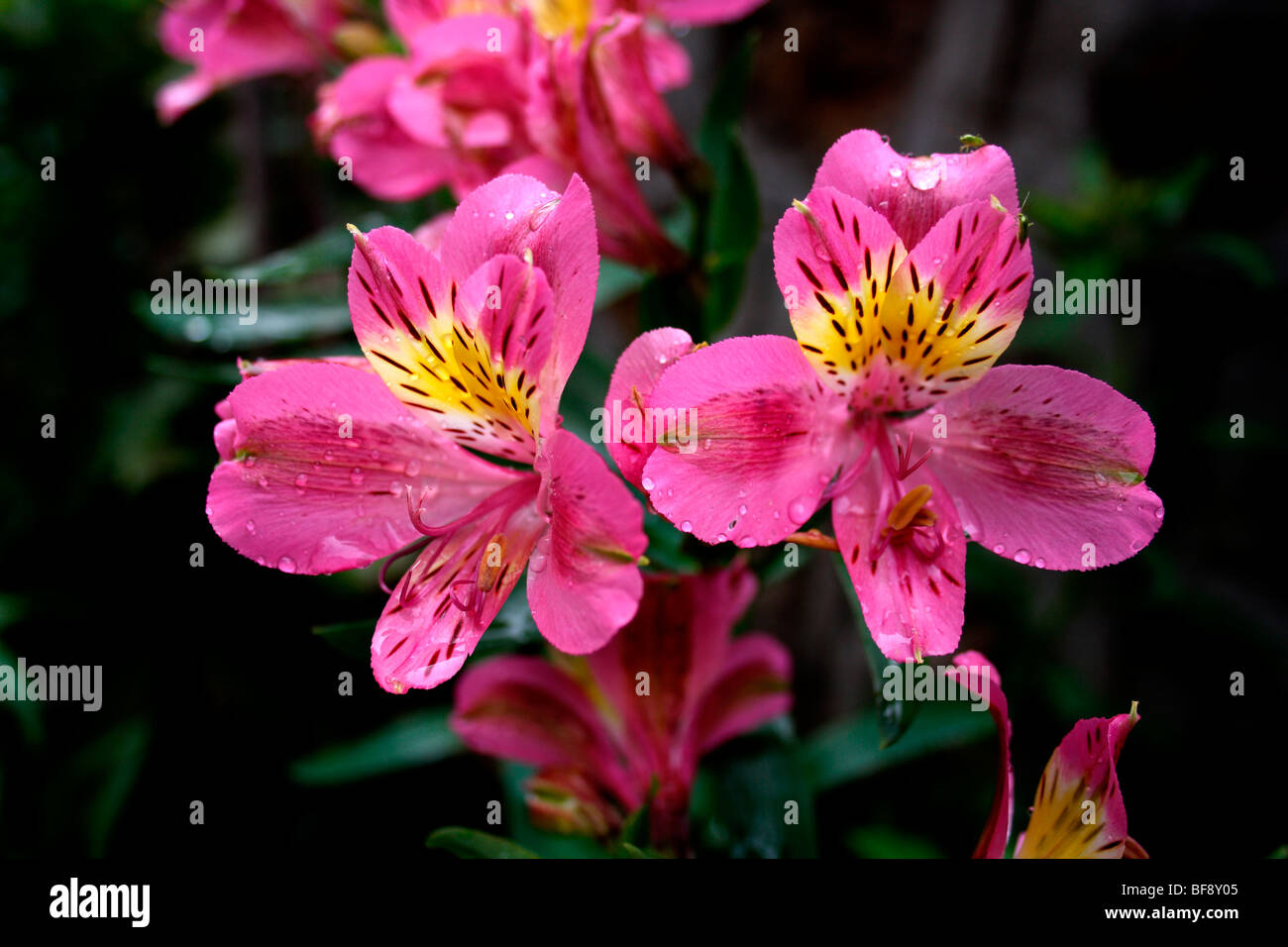 pink flowers, redish, yellow , with brown dotted flower - Stock Image