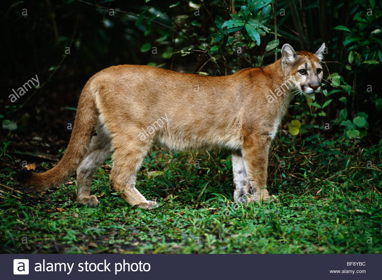 089dcb06472 Puma Concolor Stock Photos & Puma Concolor Stock Images - Alamy