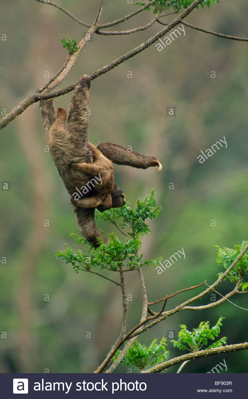 Brown-throat three-toed sloth hanging from tree branch, Bradypus variegatus, Barro Colorado Island, Panama - Stock Image