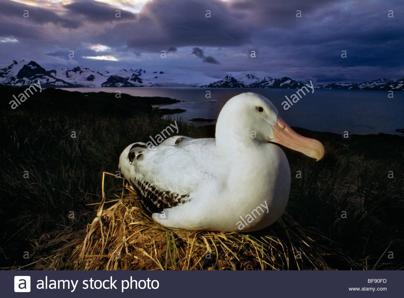 Wandering albatross on nest, Diomedea exulans, South Georgia Island - Stock Image
