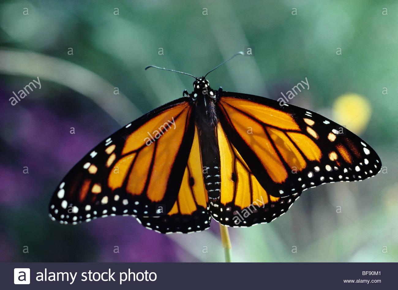 Monarch butterfly, Danaus plexippus, California - Stock Image