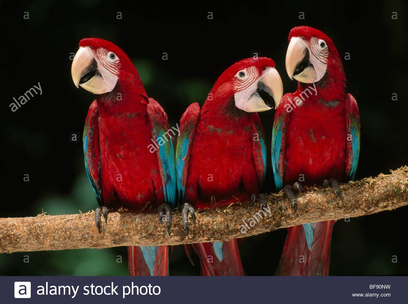 Red-and-green macaw juveniles, Ara chloroptera, Manu National Park, Peru - Stock Image