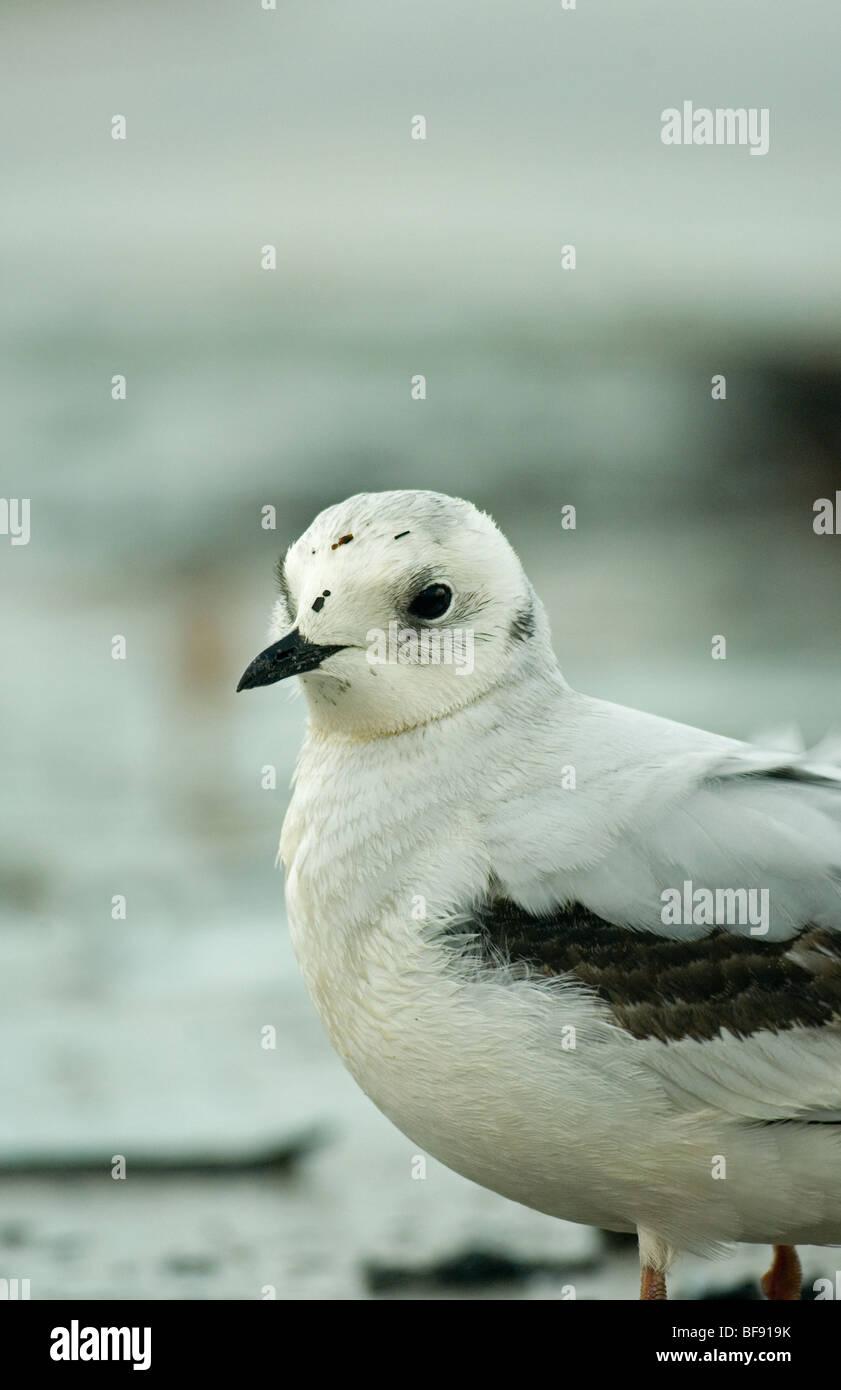Ross's Gull in 1st winter plumage - Stock Image