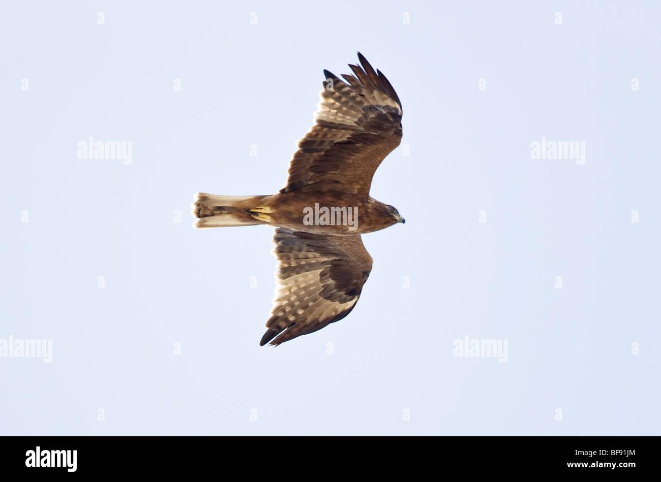 Booted Eagle Hieraaelus penates on Autumn migration over tarifa to africa - Stock Image