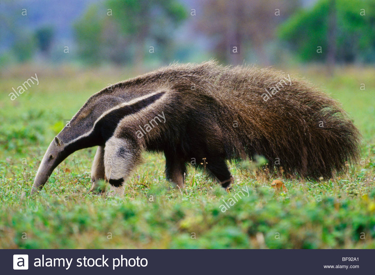 Giant anteater searching for termites, Myrmecophaga tridactyla, Pantanal, Brazil Stock Photo