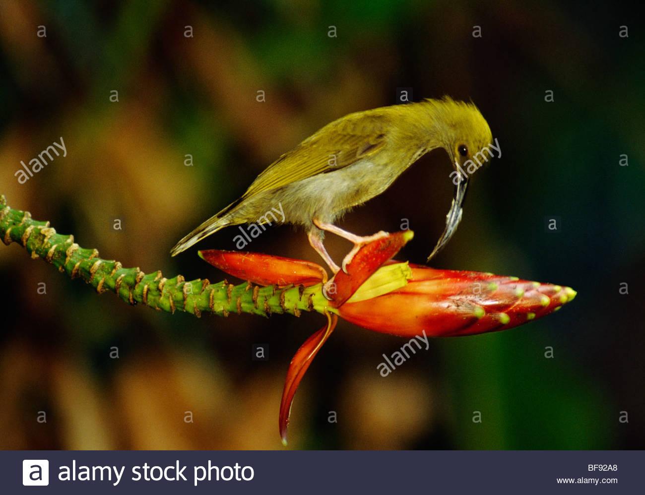 Long-billed spider hunter feeding on flower, Arachnothera robusta, Borneo - Stock Image