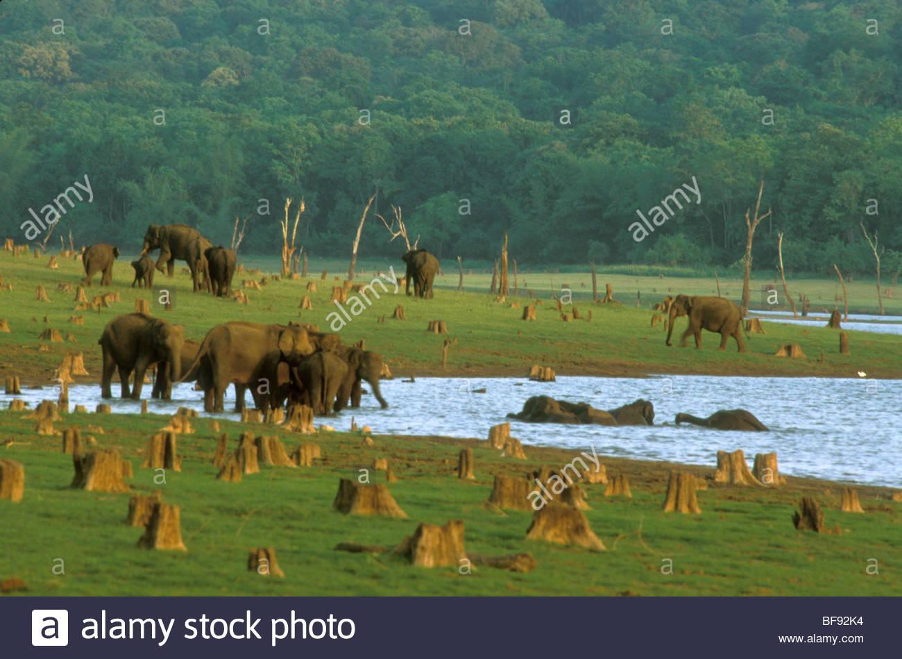 Asiatic elephants grazing on floodplain amid tree stumps, Elephas maximus, Nagarahole National Park, Western Ghats, - Stock Image