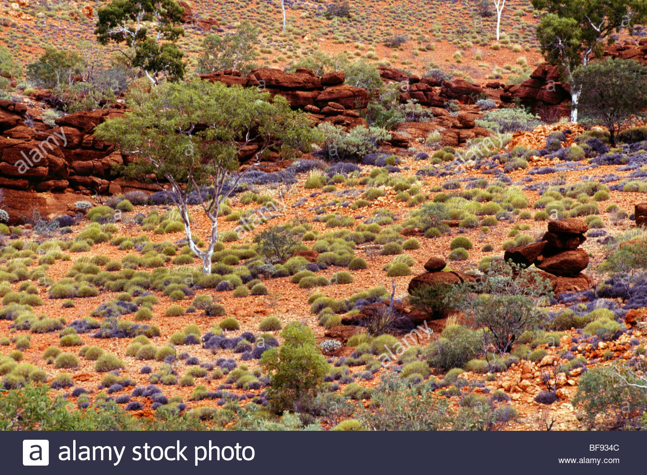 River gum trees and spinifex grass, Central Desert, Australia - Stock Image