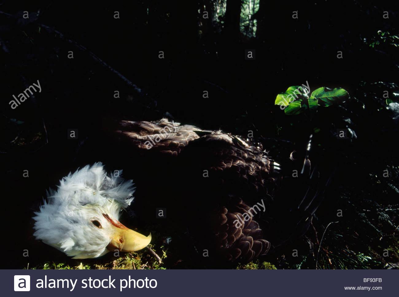 Bald eagle killed by gunshot, Haliaeetus leucocephalus, Desolation Sound, British Columbia, Canada - Stock Image